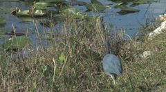 Stock Video Footage of Reddish egret hunting