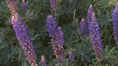 Blue lupin Stock Footage