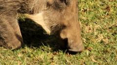 Warthog grazing Green Grass on knees GFHD Stock Footage