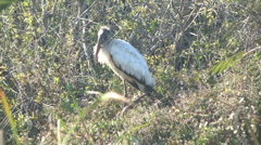 Woodstork in the grass Stock Footage