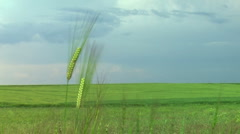 Wheat Field plain Stock Footage