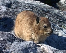 Dassie on Table Mountain, Cape Town GFSD Stock Footage