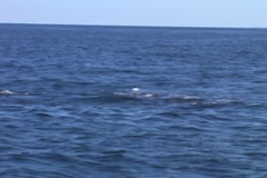 Whale Close Up - stock footage