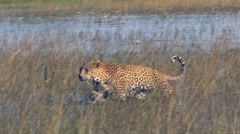 Leopard Walking in Water Stock Footage