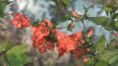 Bush of a blossoming Japanese quince (Chaenomeles japonica). Stock Footage