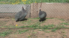 Guinea fow (Pearl hen)l in an open-air cage. Stock Footage