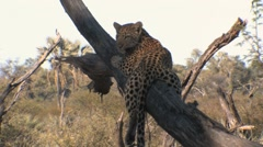 Leopard Cub Lounging in Tree Stock Footage