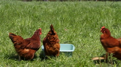 Chickens Feeding Stock Footage