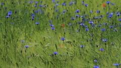Cornflowers - stock footage