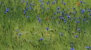 Stock Video Footage of Cornflowers