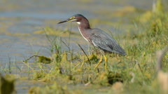 Green Heron fishing along the shore Stock Footage