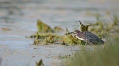 Green Heron fishing along the shore Stock Footage