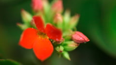 Red kalanchoe. Stock Footage