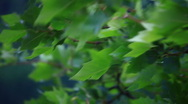 Stock Video Footage of Green leaves shaking in the wind