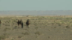 Boy with camels - stock footage