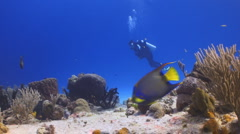 Queen Angelfish and scuba diver Stock Footage