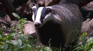 Stock Video Footage of badger