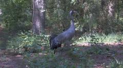 Common crane Stock Footage
