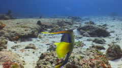 Queen Angelfish--Cozumel Stock Footage