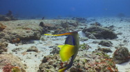 Stock Video Footage of Queen Angelfish--Cozumel
