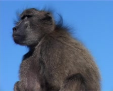 Baboon at Cape Point Blue Sky MS, Cape Town GFSD Stock Footage
