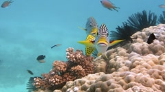 Diagonal banded Sweetlips fish (Plectorhinchus lineatus) Stock Footage