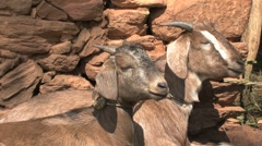 Goats Stock Footage