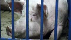 Pig Portrait Stock Footage