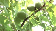Not yet ripe apricots. Stock Footage