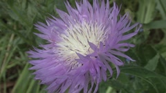 Blue Flower - Thistle Stock Footage