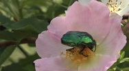 Chafer on the flower hips. Stock Footage