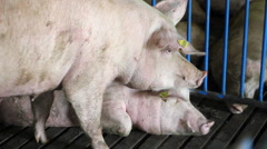 Two Big Farm Pigs - DO NOT DISTURB Stock Footage