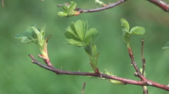 Close up shot of spring dog rose branch. Stock Footage