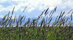 Grass blowing in wind Stock Footage