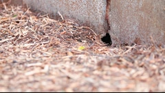 Rat nose appears in the hole. Rat smell the air Stock Footage