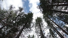 Ooking up through tall trees to the sky, kings canyon, california Stock Footage