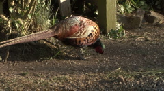 Cock pheasant with a limp, or leg injury, eats. Stock Footage