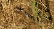 Ball Python in the dry grass HD Stock Footage