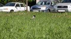 Raven Stock Footage