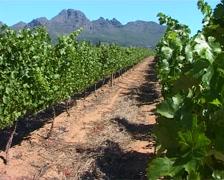 Vineyard in Stellenbosch, Cape Town GFSD Stock Footage