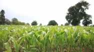 Crops 3 (HD) Stock Footage
