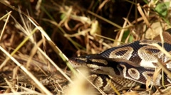 Ball Python in Nature HD Stock Footage