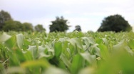 Crops 5 (HD) Stock Footage
