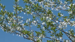Flowering cherry-tree against blue sky. Stock Footage