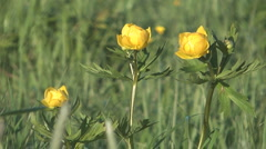 Yellow globe flower in the field on a sunny day. - stock footage