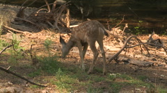 Yosemite Deer 12 - stock footage