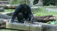 Stock Video Footage of Chimpanzee gathering food from box