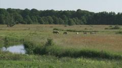 Konik horses grazing in nature reserve drentsche Aa Stock Footage