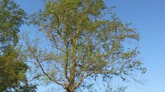 Tall Tree 1 - stock footage