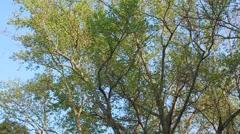 Tall Tree 2 - stock footage